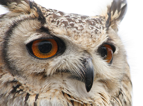 A close-up shot shows a rather superb owl looking to the right of the screen- it's large orange eyes are seen with complex swirls of color.
