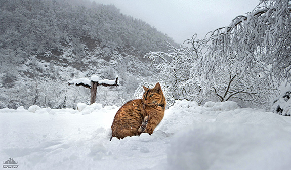 A muted but fiery red-yellow cats sits magnificently against a snowy mountain backdrop atop a fresh coat of new snow. The trees behind rise up- covered in the same snow.